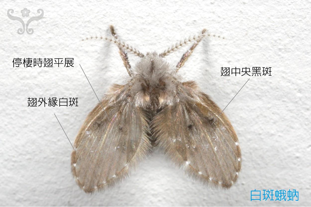 蛾蚋_Lets 探索家中昆蟲 | 居家昆蟲 » 蛾蚋 » 白斑蛾蚋