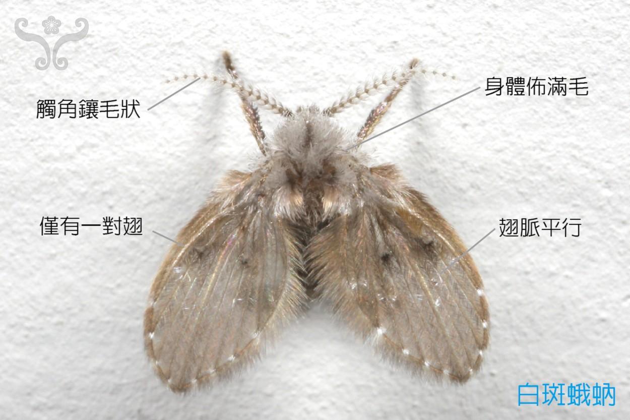 蛾蚋_Lets 探索家中昆蟲 | 居家昆蟲 » 蛾蚋